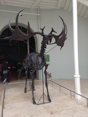 stuffedgiantdeer_extinct